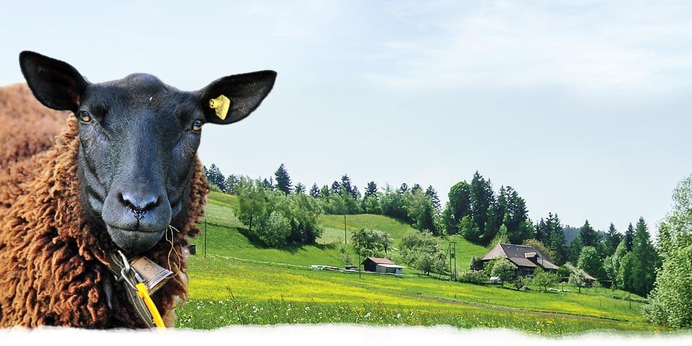 Titelbild mit Landschaft und Schaf